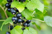 black currant growing