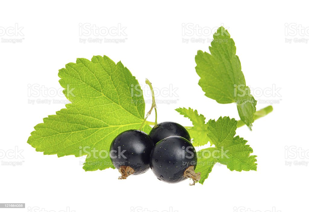 black currant isolated stock photo