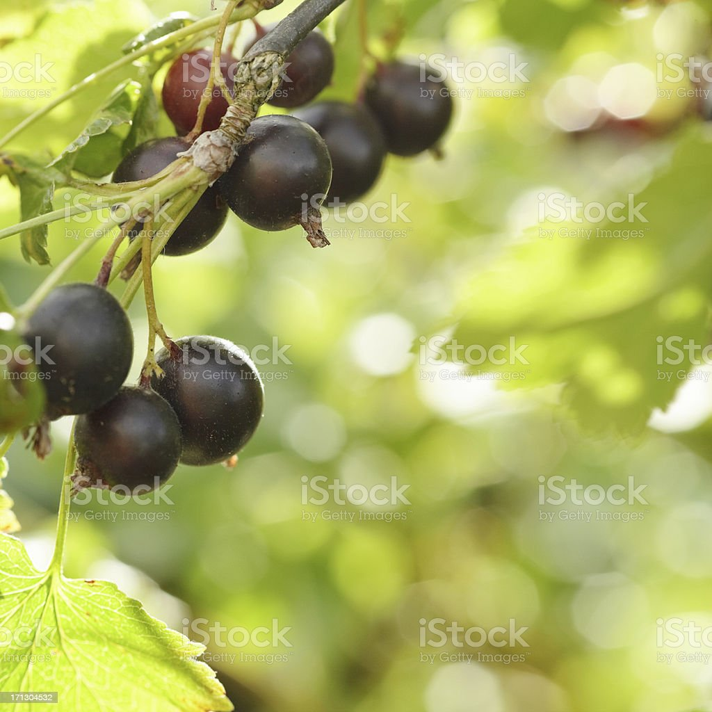 black currant royalty-free stock photo