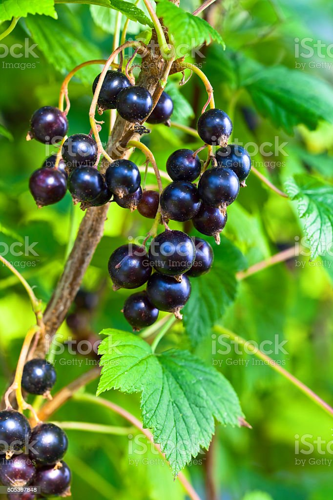 black currant, ripe berries on a branch stock photo