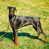 Black Doberman Dog On Green Grass Background