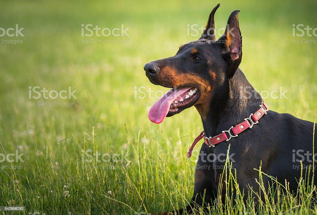 black doberman dog stock photo