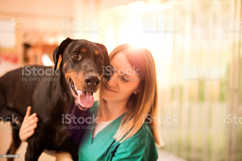 Black Doberman on a medical exam at vet's office. stock photo