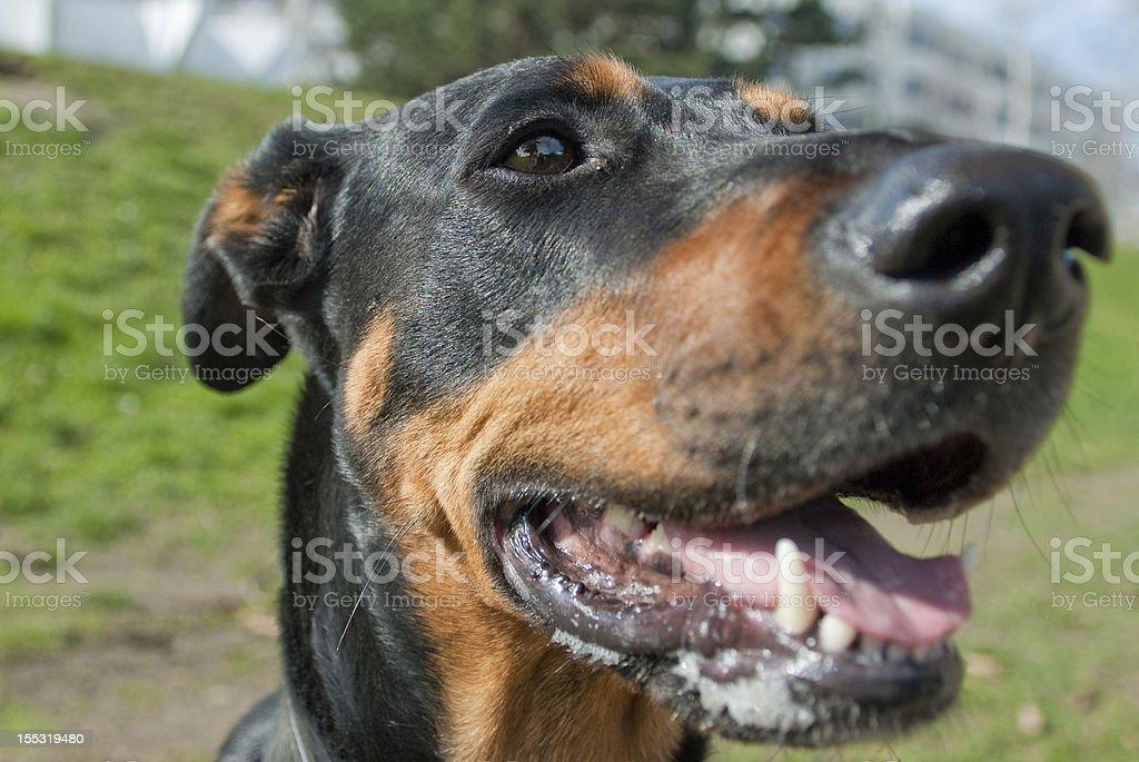black doberman royalty-free stock photo