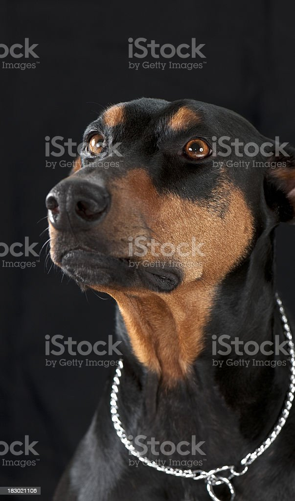 Black Doberman stock photo