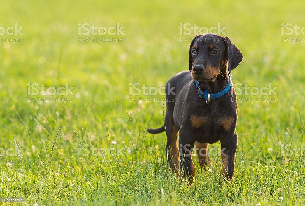 Black doberman puppy on the grass stock photo