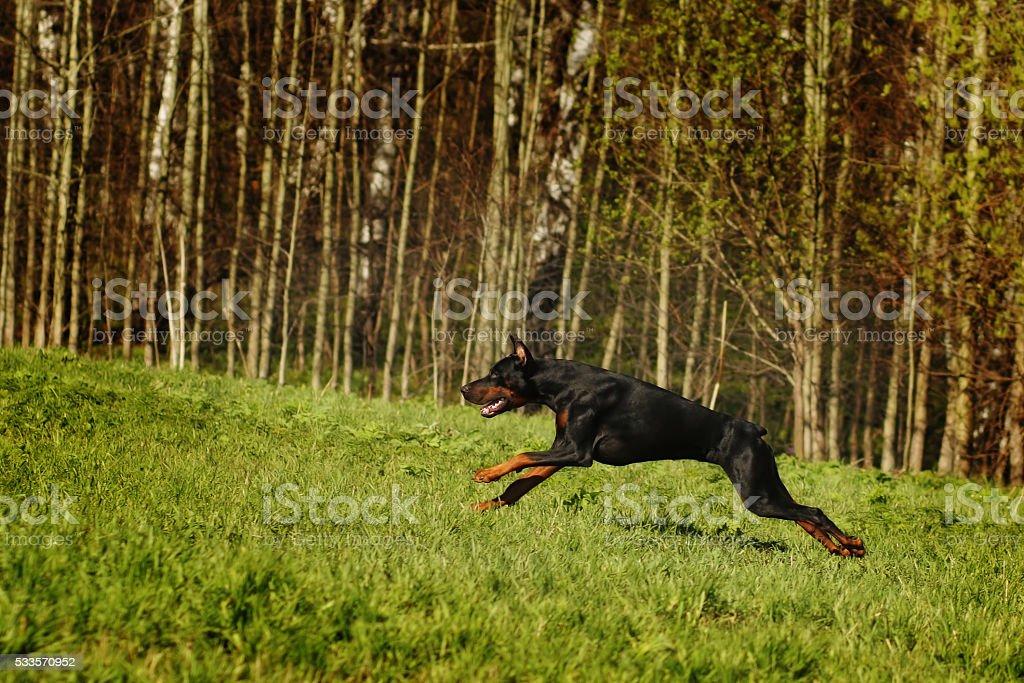 Black Doberman runs gallop on the hill stock photo