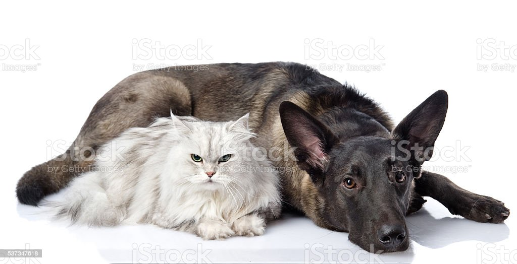 black dog and persian lying together cat. stock photo