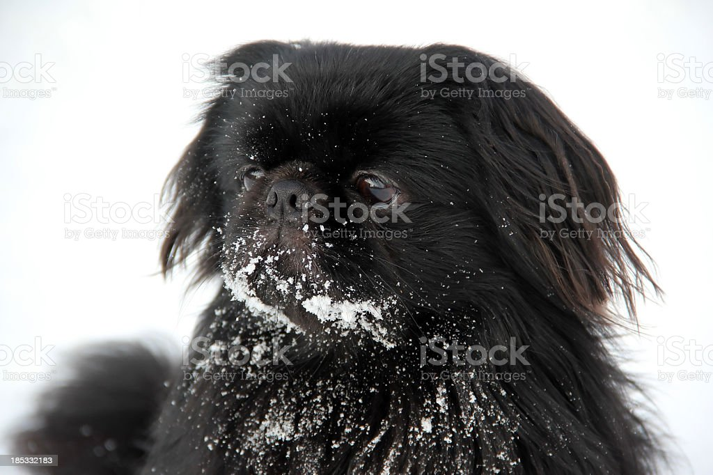 Black dog and white snow stock photo