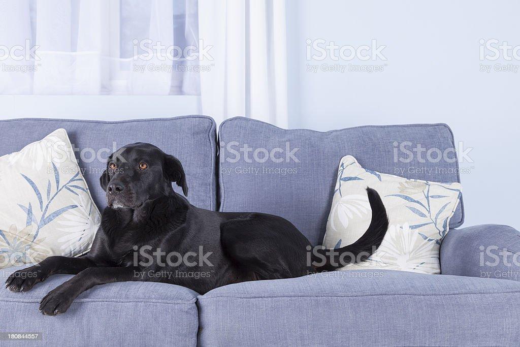 Black dog, blue sofa royalty-free stock photo
