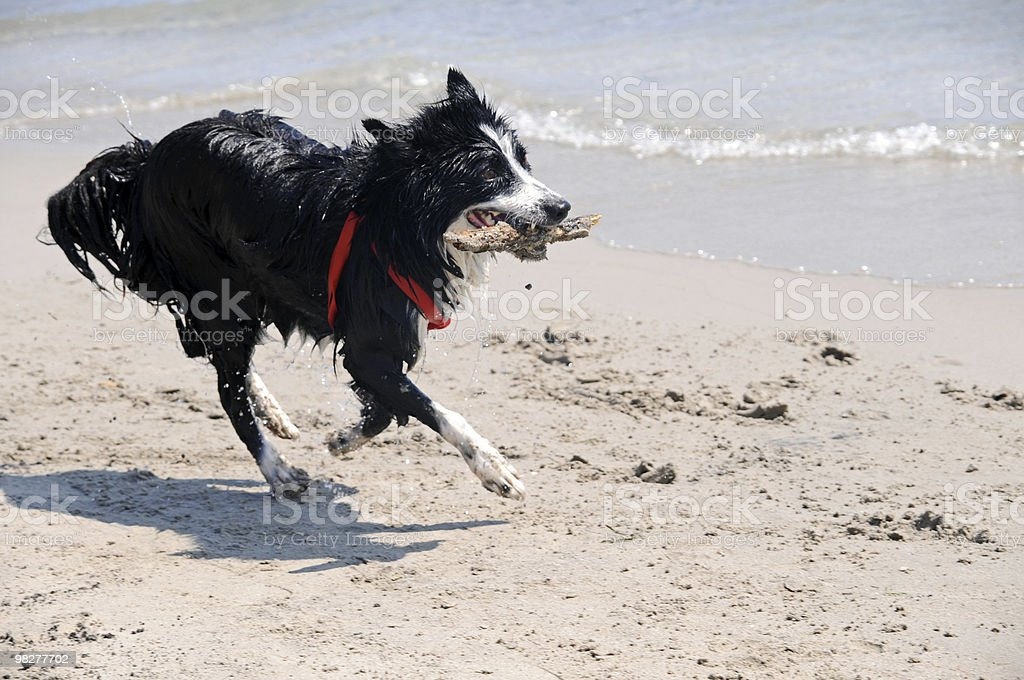 Black dog brings wooden piece (series) royalty-free stock photo