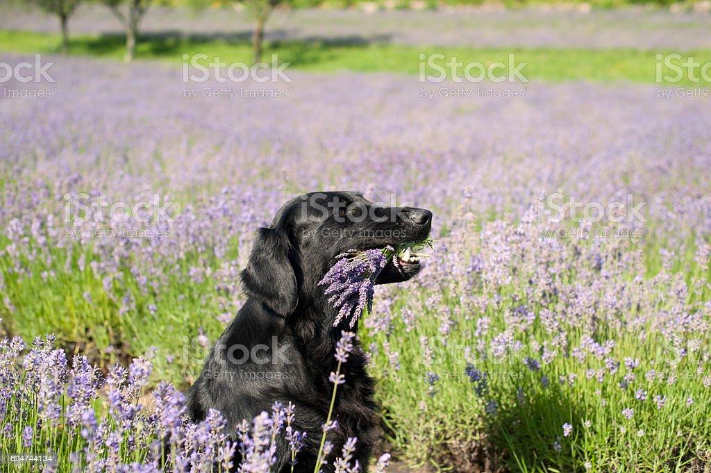 Black dog holding purple bouquet of lavender flowers stock photo