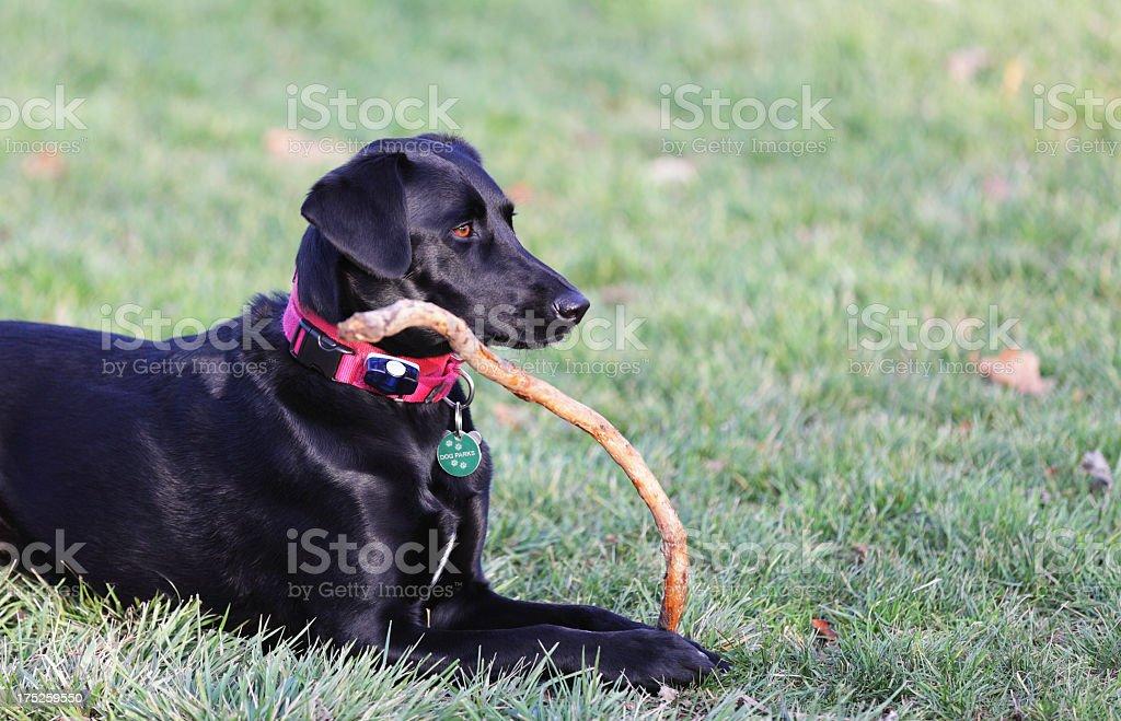 Black Dog Holding Stick stock photo
