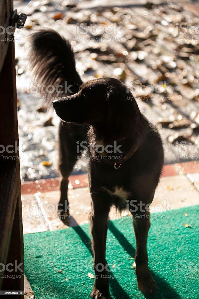 black dog in house entrance stock photo