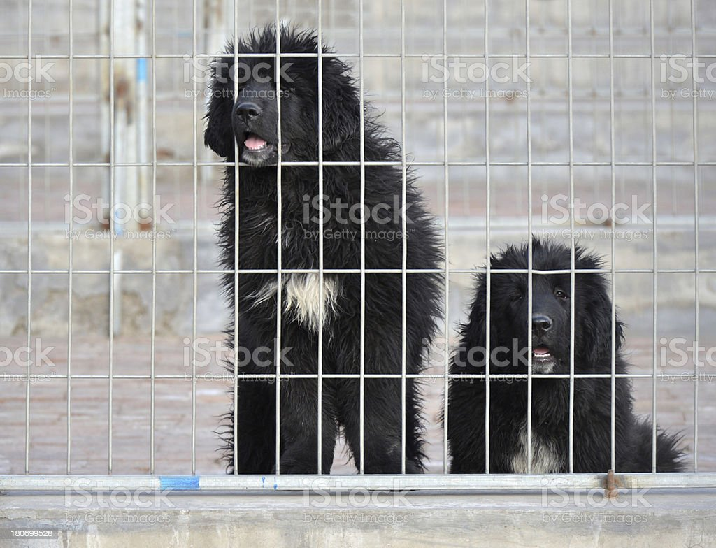 black dog in the cage stock photo