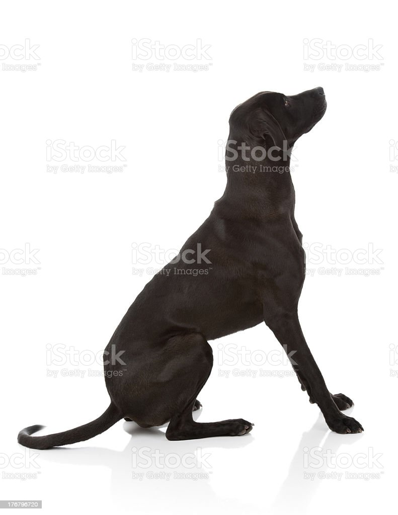 BIG Black Dog Isolated on White (XXXL) stock photo