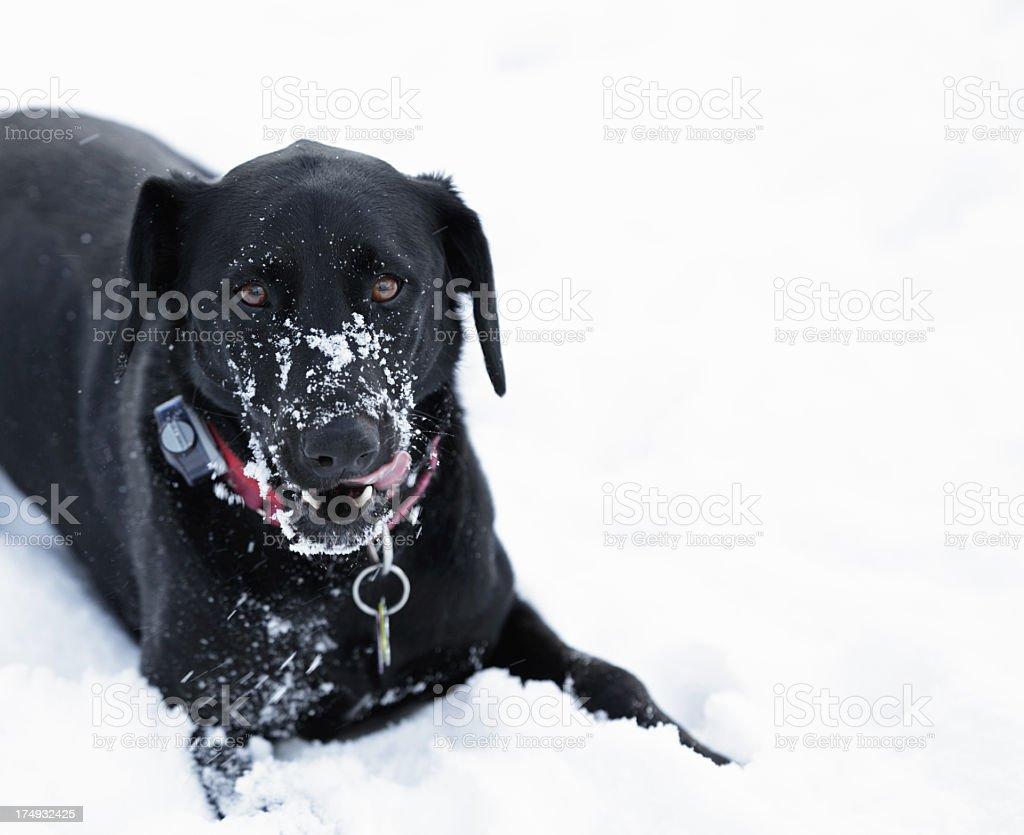 Black Dog Licking Snout Snow stock photo