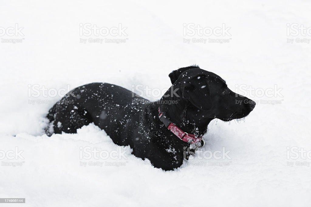 Black Dog Lying In Snow stock photo