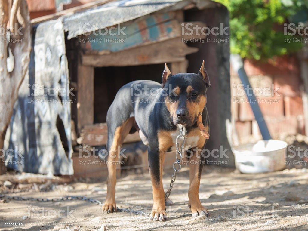 Black dog on a chain safeguarding a yard stock photo