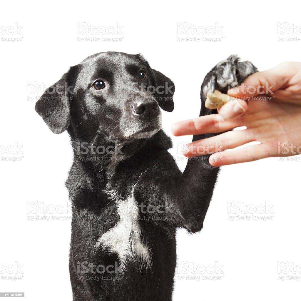 black dog pawing at hand holding treat stock photo