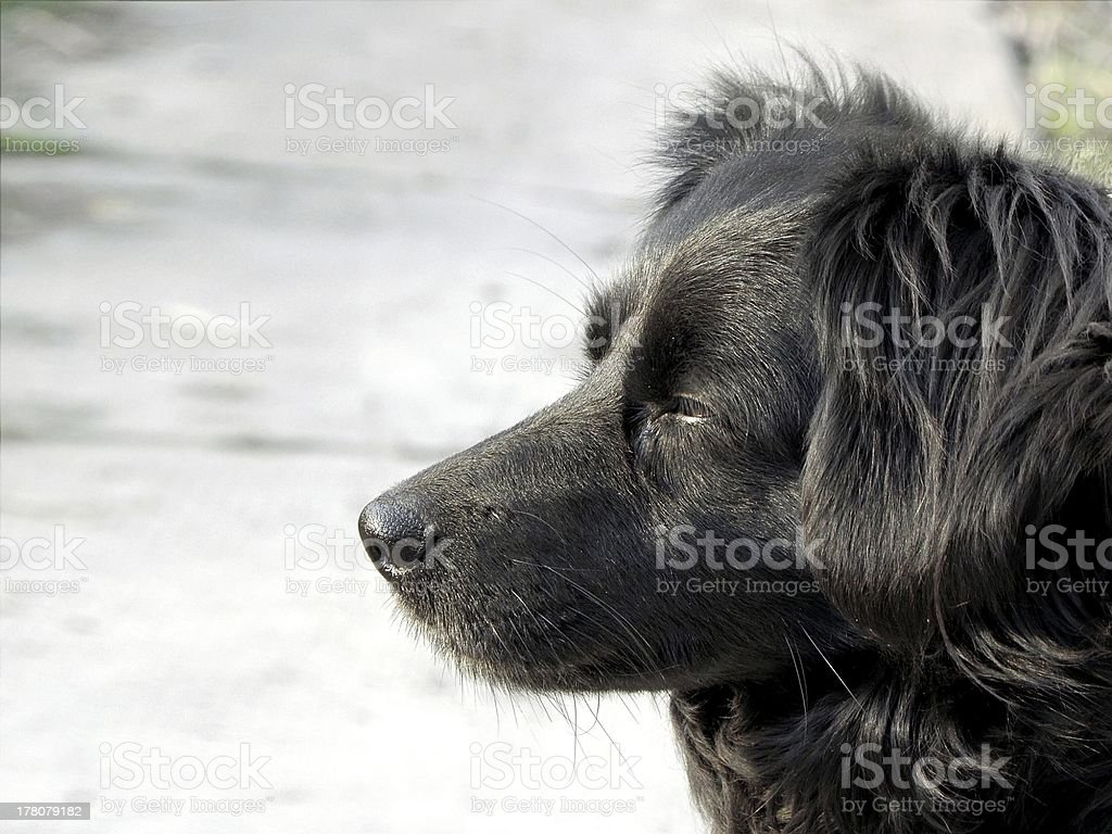 Black dog. royalty-free stock photo