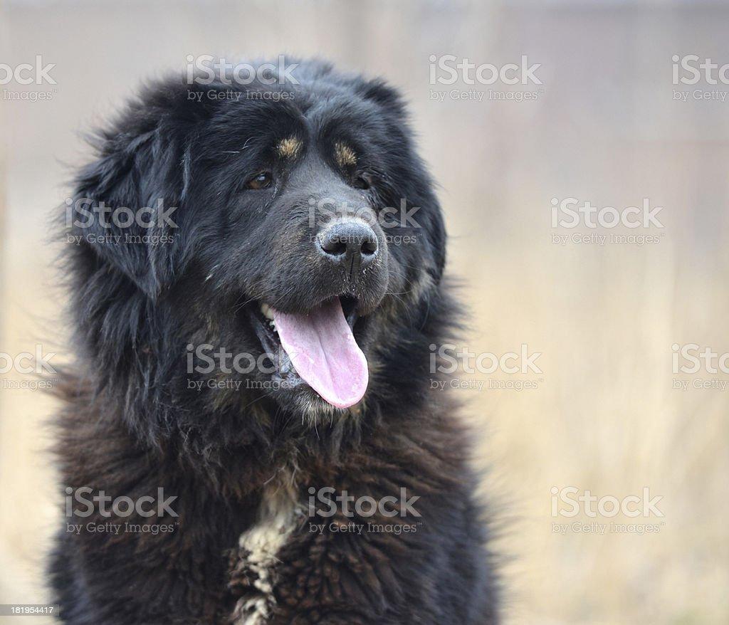 black Dog royalty-free stock photo