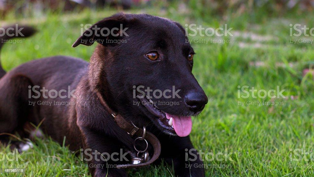 Negro perro foto de stock libre de derechos