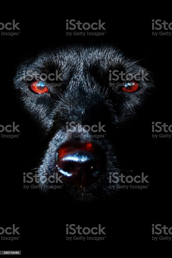 Black Dog stock photo