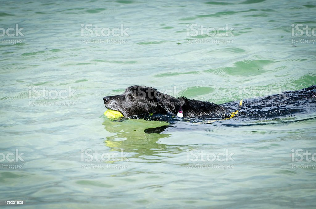 Black dog playing with a ball in water stock photo