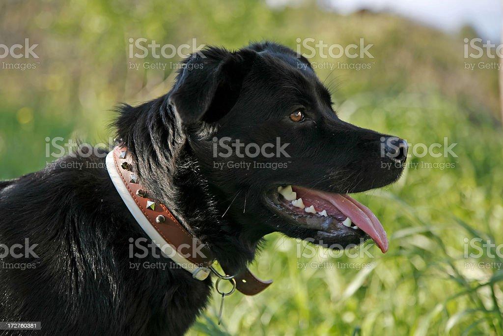 Black dog profile stock photo