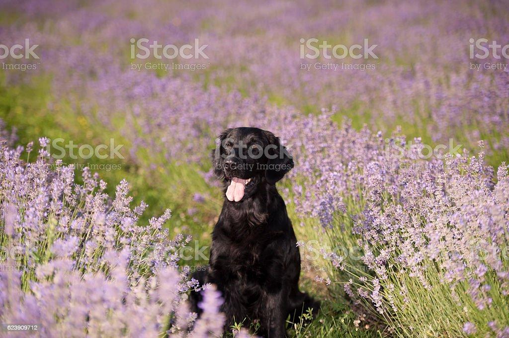Black dog retriever in lavender field stock photo