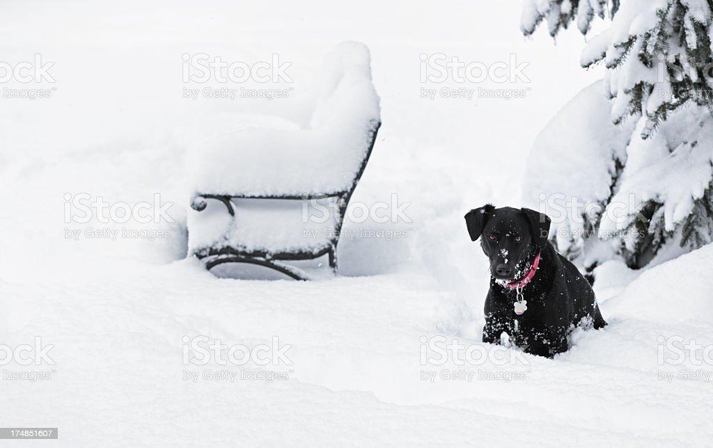Black Dog Sitting in Deep Blizzard Snow stock photo