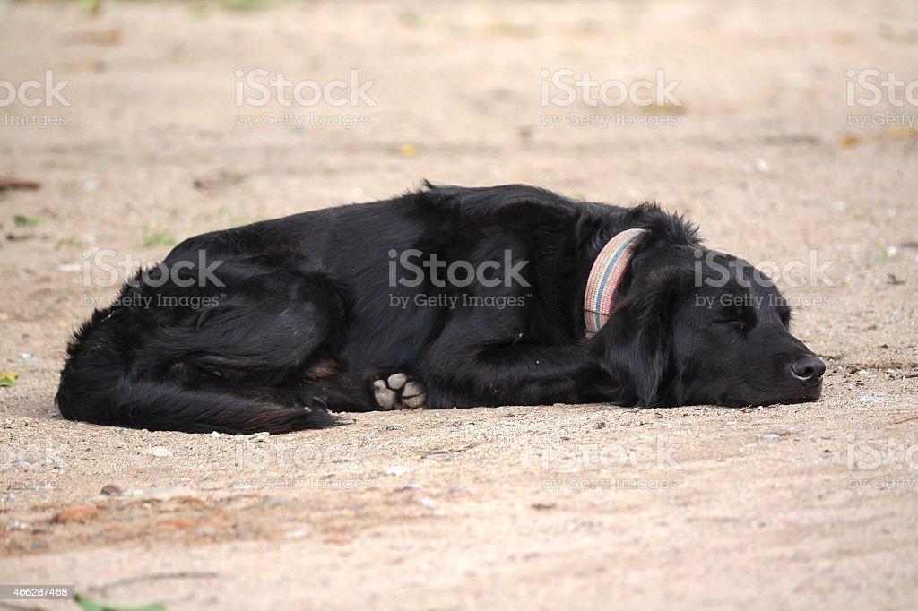 Black dog sleeping royalty-free stock photo