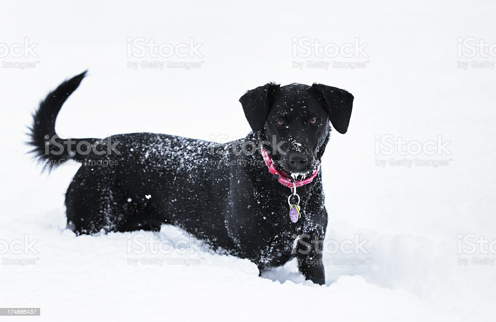 Black Dog Standing in Deep Blizzard Snow stock photo