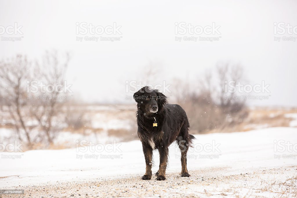 Black Dog Standing on Gravel Road in Snow stock photo