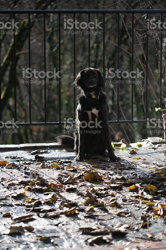 Black dog waiting stock photo