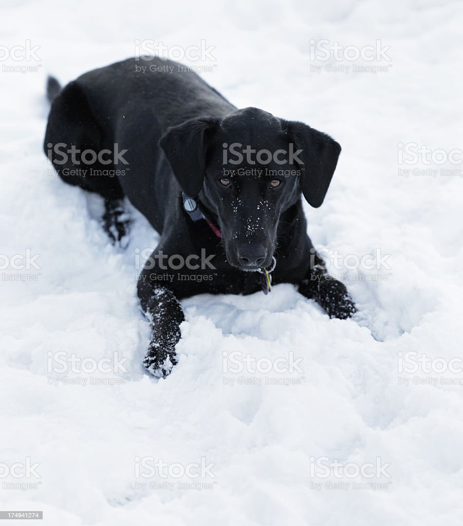 Black Dog Wants to Play stock photo