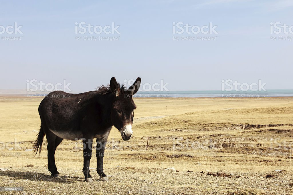 black donkey royalty-free stock photo