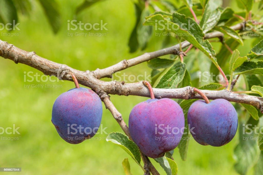 black doris plums ripening on plum tree stock photo