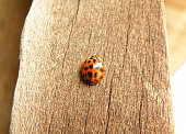 Black dot Red Ladybug Climbing on the wooden Wall