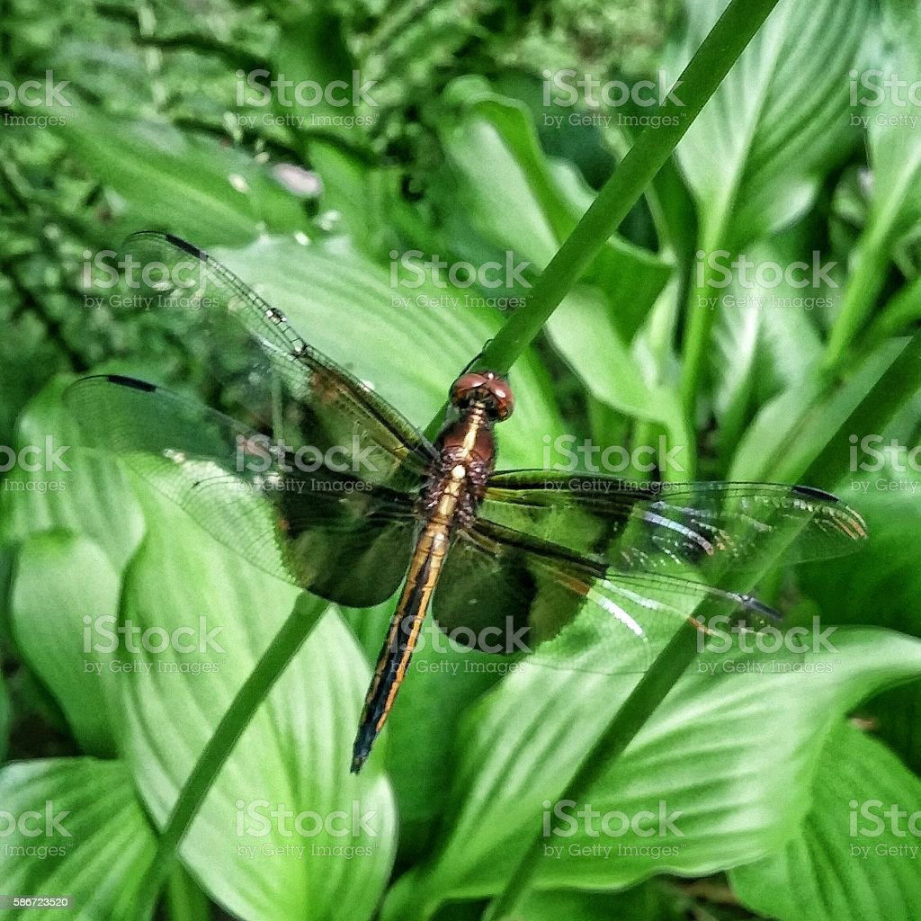 Black Dragon Fly Insect, Garden Hosta Plant Shoot Leaves stock photo