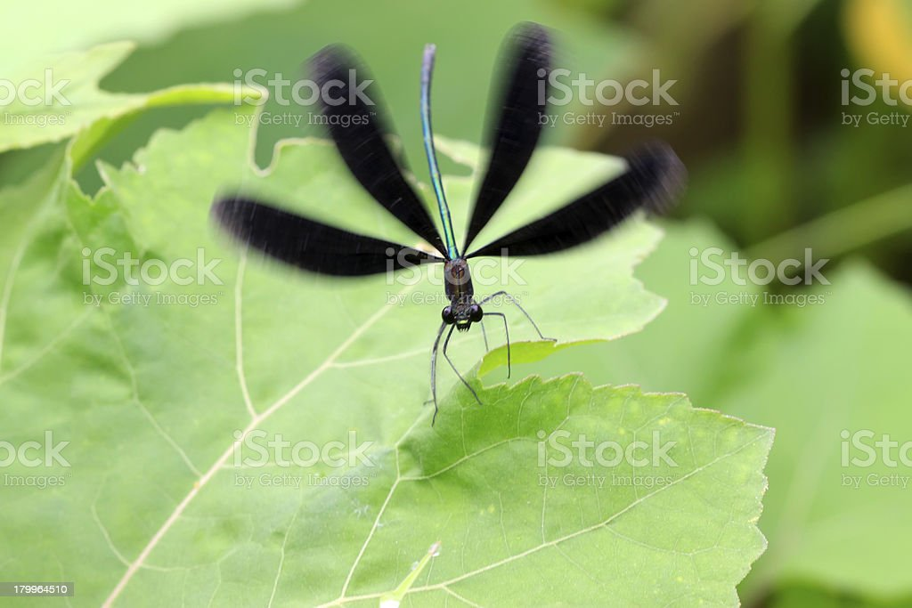 black dragonfly on the grass royalty-free stock photo