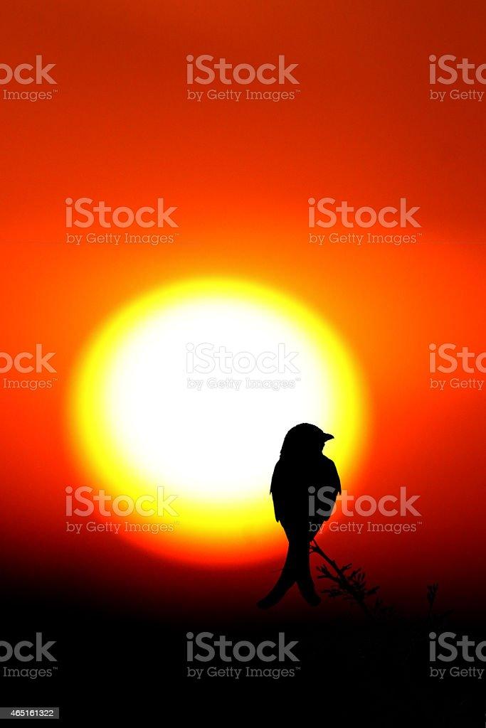Black Drongo with sunset stock photo