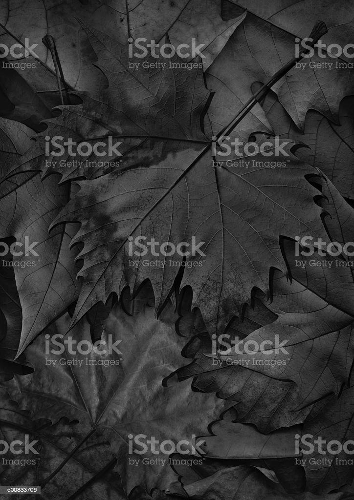Black Dry Maple Leaf Isolated on Autumn Foliage Backdrop stock photo