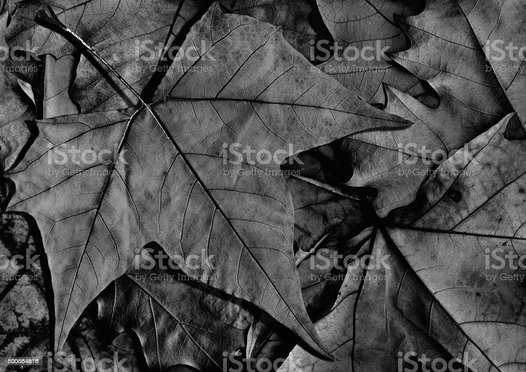 Black Dry Maple Leaf Isolated on Autumn Foliage Background stock photo
