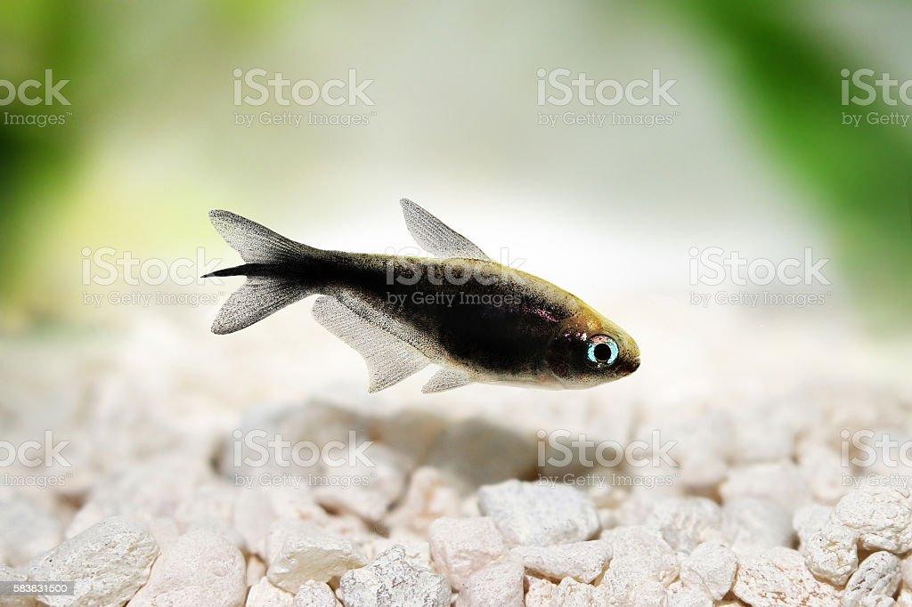 black emperor tetra Nematobrycon amphiloxus tropical aquarium fish neon tetra stock photo