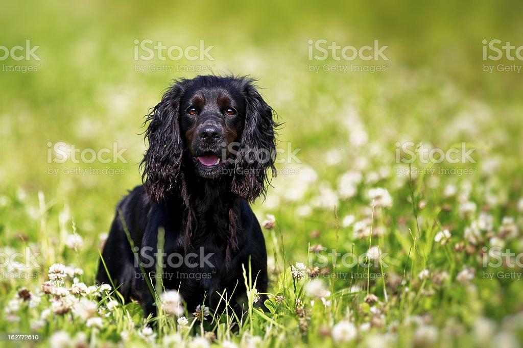 Black english springer spaniel stock photo