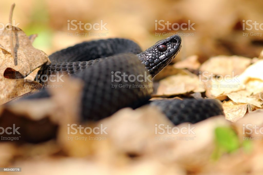 black european viper stock photo