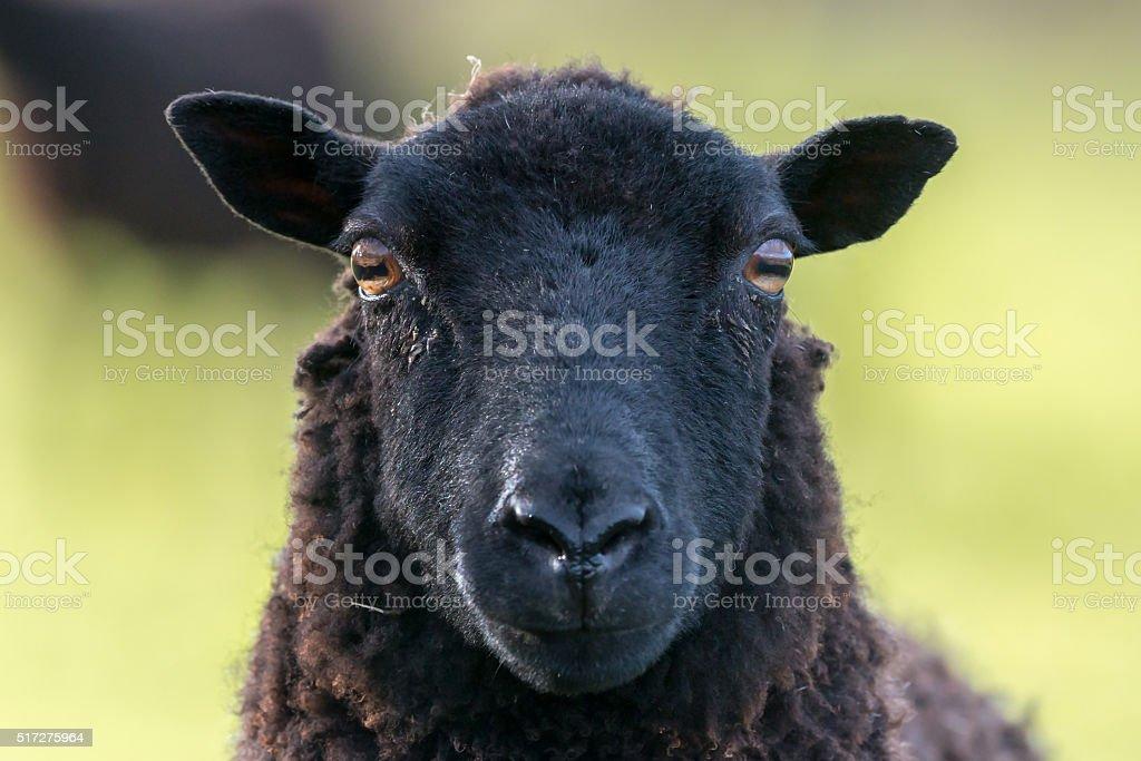 Black ewe sheep face stock photo