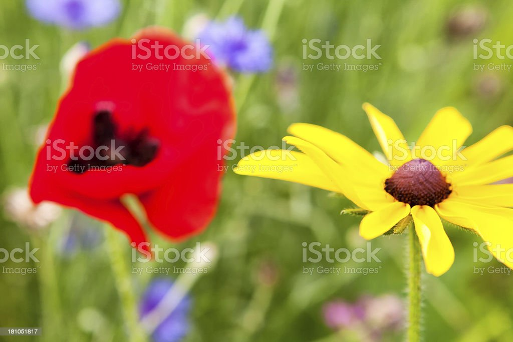 Black Eye Susan and Red Poppy WildFlowers royalty-free stock photo